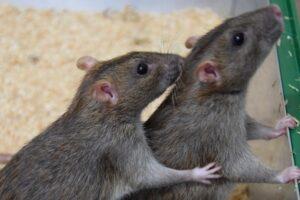 O ciclo de vida de um rato