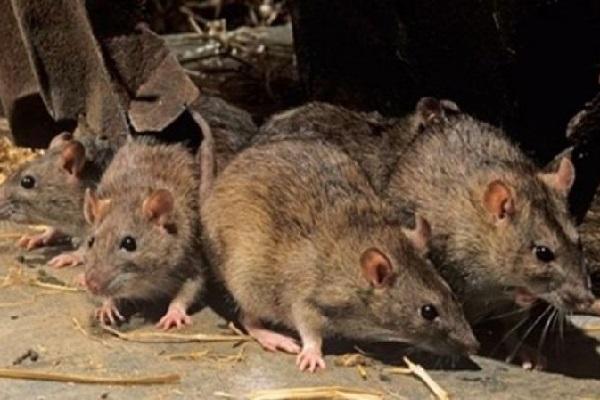 Quão bom é o sentido do olfato de um rato