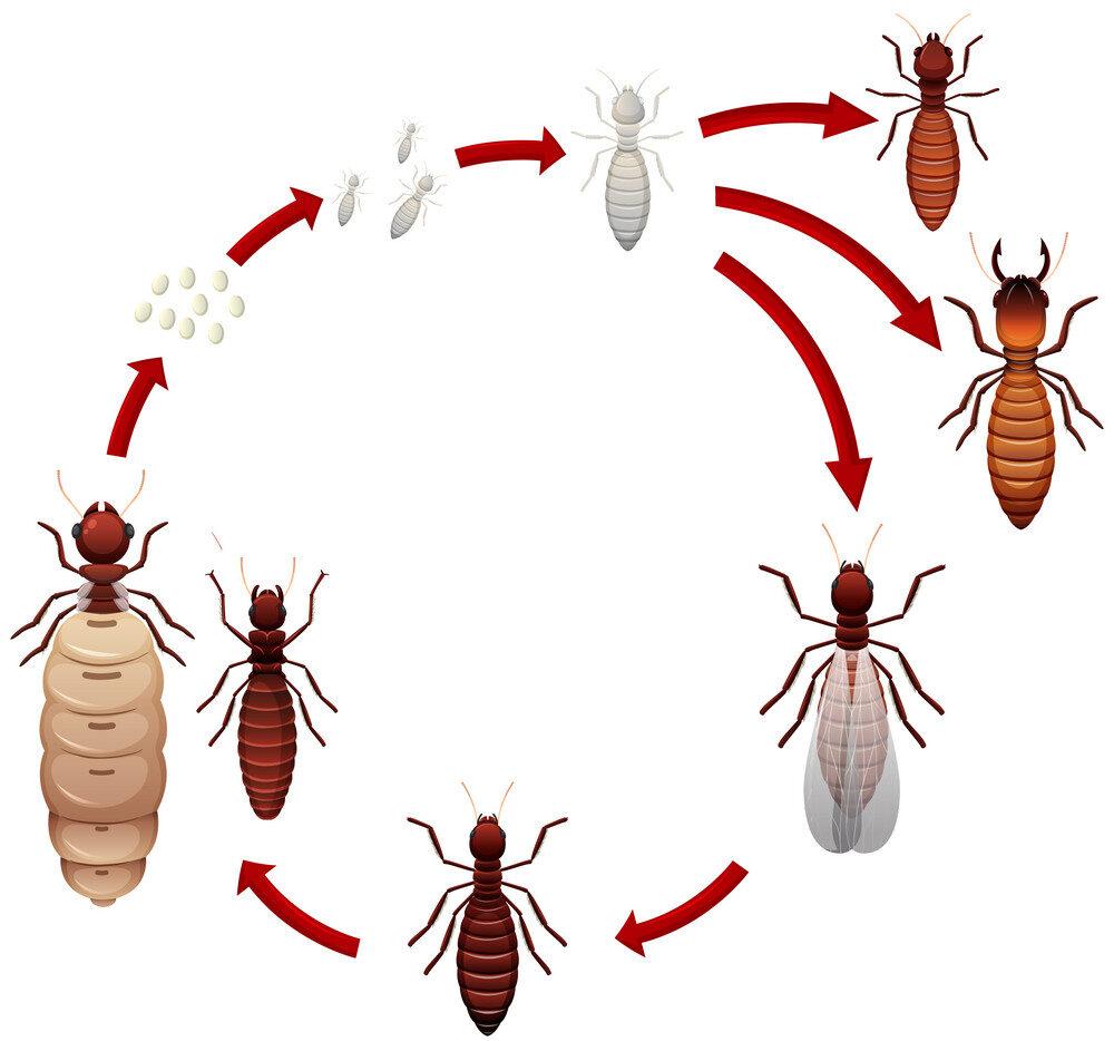 Ciclo de reprodução dos cupins