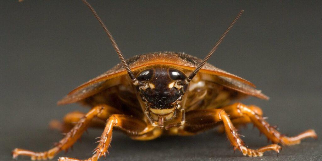 Conheça algumas espécies de baratas do mundo