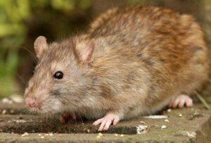Dedetizadora de rato em Guarulhos